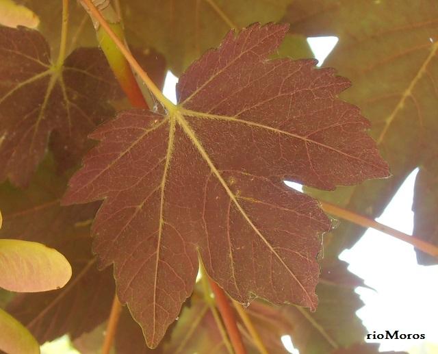 Acer pseudoplatanus var. purpureum Hoja de Arce purpúreo