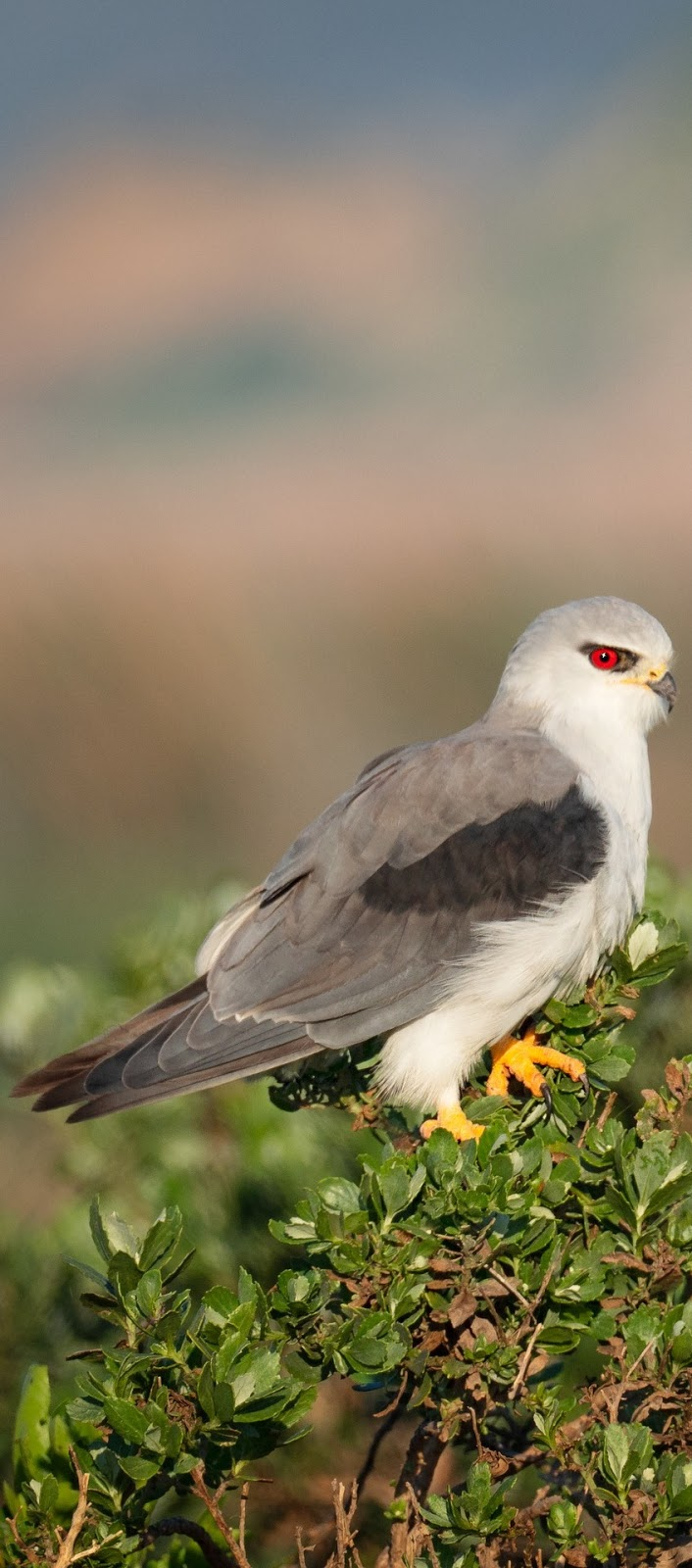 Picture of a black winged kite.