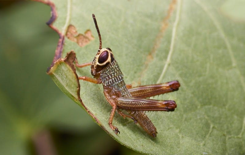 yellow masked grasshopper,Philippines, macro,close-up,photography
