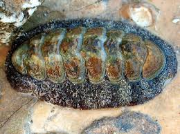 Chiton sp