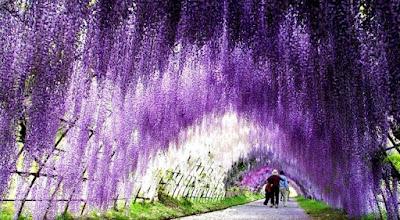 beautiful wisteria flower tunnel in japan