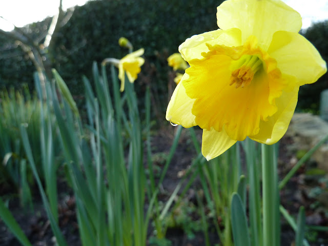 daffodils blooming early uk