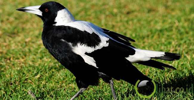 Burung Murai Australia
