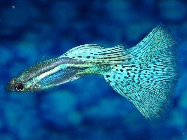 Dunia Ikan Hias - GUPPY GRASS BLUE