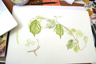 Corylus avellana, Giulia canevari, watercolour, Dublin