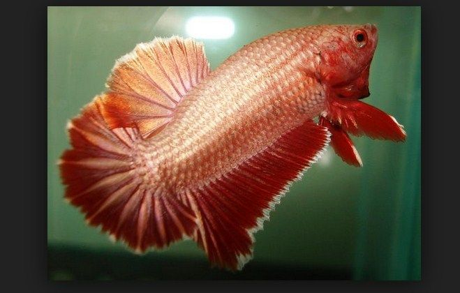 jenis ikan cupang serit
