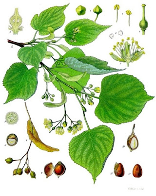 An illustration of the various parts of the lime tree (Tilia cordata)