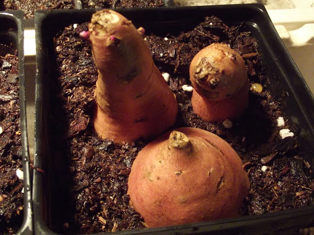 Sweet Potato Propagation: