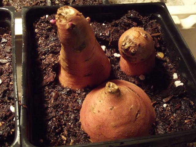Sweet Potato Propagation: