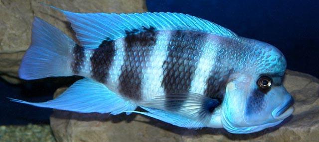 discus balıklarının özellikleri