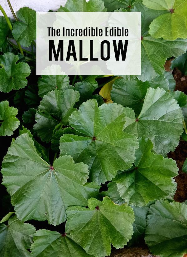 mallow, malva, soachal, lapha, ebegümeci, khubeza, chalamit, cheeseweed, buttonweed, edible, wild, Kashmiri, forage, weed,