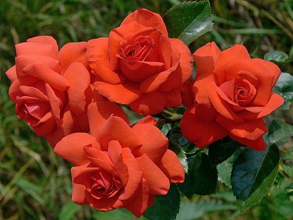 Salita сорт розы фото