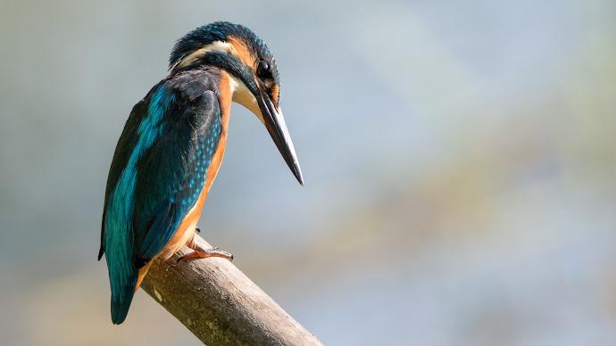 Wallpaper: Kingfisher