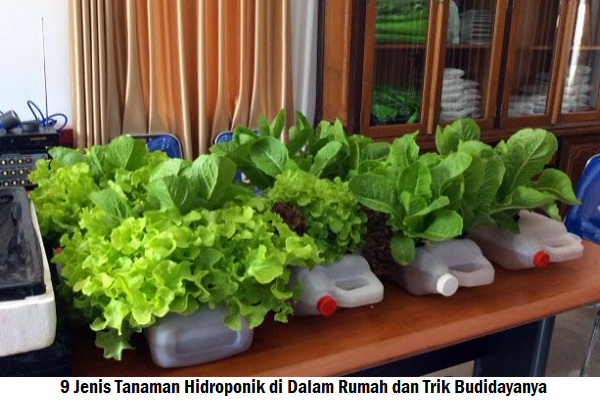 9 Jenis Tanaman Hidroponik di Dalam Rumah dan Trik Budidayanya