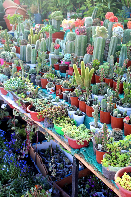 Cactus plants in Cusco, Peru - lifestyle & travel blog