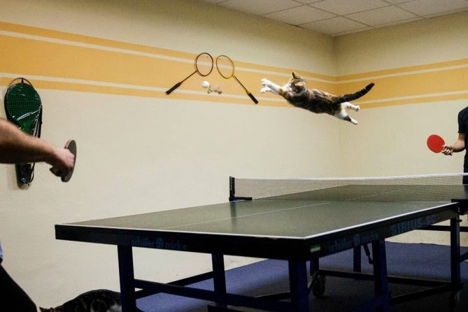 Un gato que ama la pelota de ping pong.