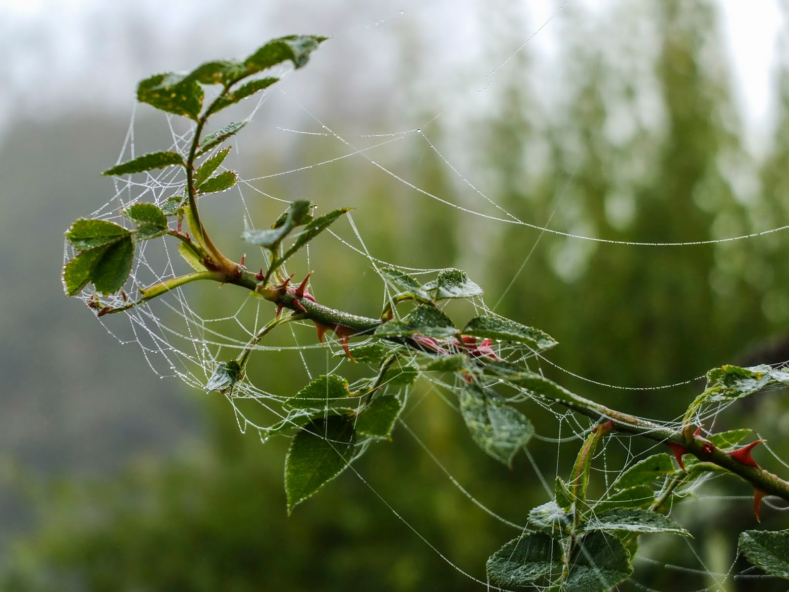 A rose bush branch wrapped in a spider web on a foggy day.