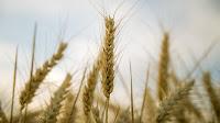Le plus grand agresseur n'est autre que le blé