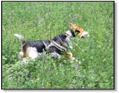 rennender Beagle