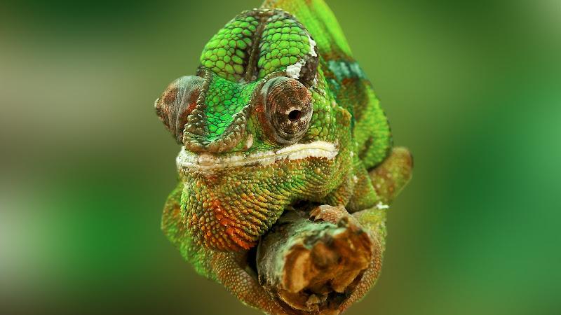 Portrait of a Chameleon Lizard HD