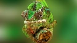 Lizard: Chameleon 4K