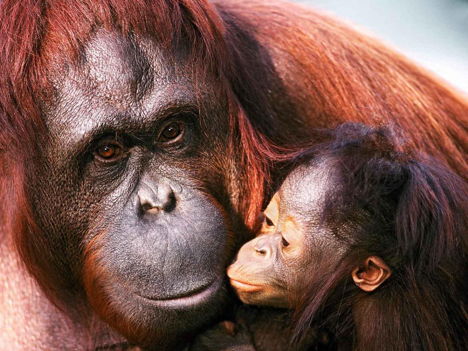 Funny Gorilla Wallpaper For Desktop Funny Animal