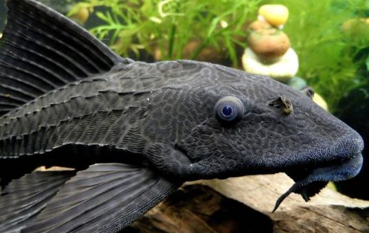 Ikan Buntal Air tawar