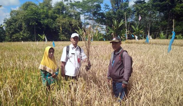 Petugas Dinas Pertanianmeninjau lahan persawahan