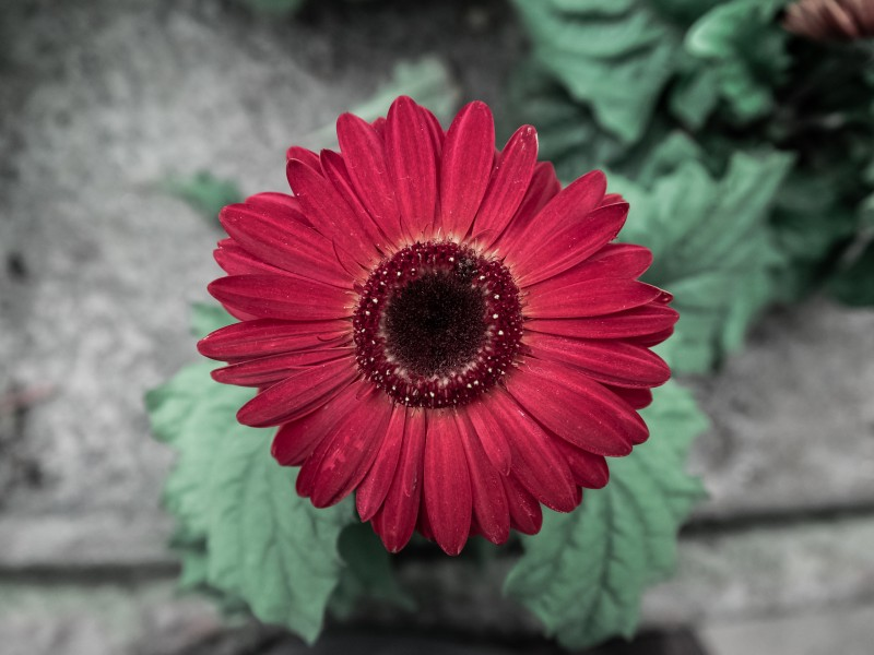 Download Red Daisy HD wallpaper. Click Visit page Button for More Images.