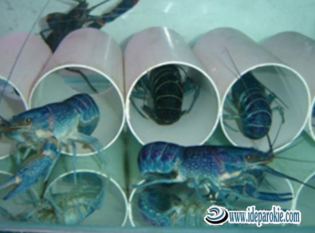 Proses Pembenihan dalam Budidaya dan Ternak Lobster dengan Hasil Menjanjikan