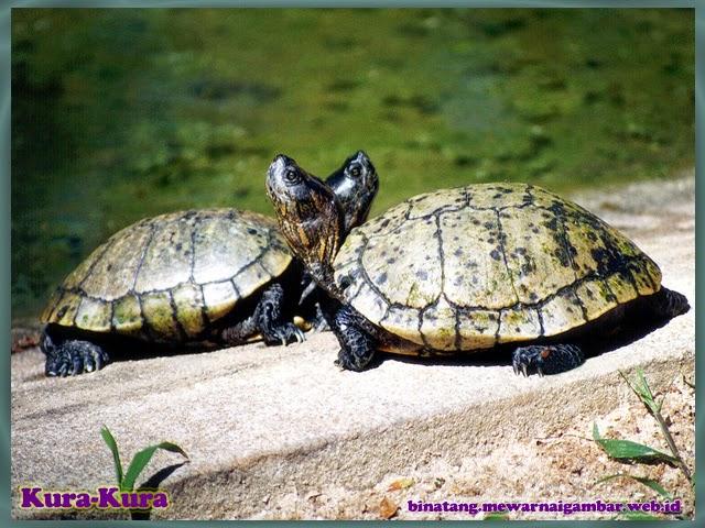 gambar binatang kura-kura