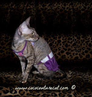 Coco the Cornish Rex in a two piece dress