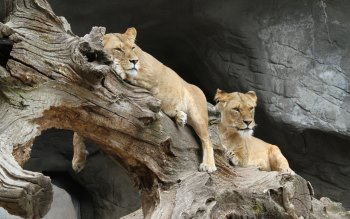Wallpaper: Lionesses