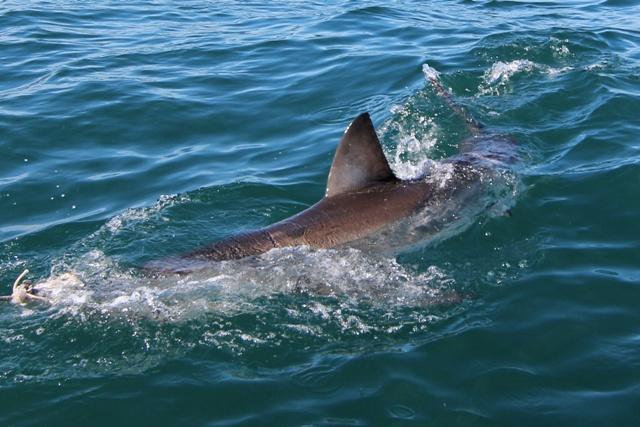 El Gran Tiburón Blanco en Gansbaii