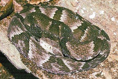 serpiente de alcatraz Bothrops alcatraz