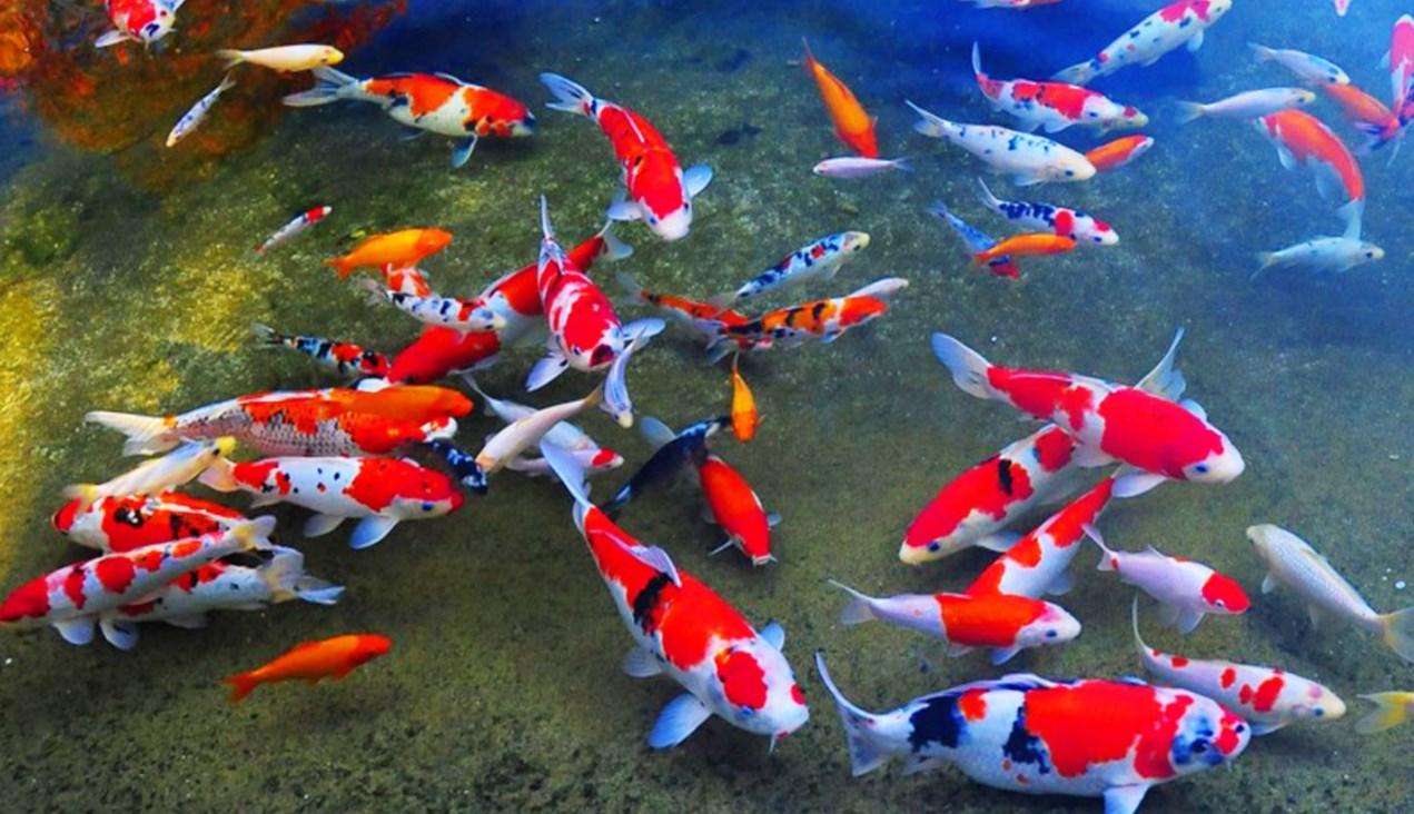 5 Ikan Hias Untuk Pemula Aquaama