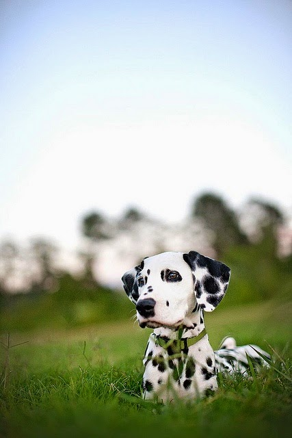 Dalmations are one of my favorites. beautiful