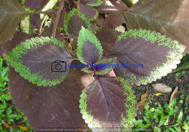 Sebelum kita bahas mengenai khasiat daun Miana yang sering disepelekan, pastinga Anda telah membaca postingan beberapa hari yang lalu mengenai manfaat sayur kangkung untuk kesehatan.    Banyak tumbuhan yang ada di sekitar Anda yang hanya dianggap sebagai tumbuhan liar saja. Padahal terkadang tumbuhan yang dianggap liar itu memiliki kandungan dan manfaat yang baik untuk kesehatan tubuh.    Salah satu tumbuhan liar tersebut adalah daun miana. Tumbuhan miana ini biasanya tumbuhan yang ditanam di hiasan semata dan juga dapat ditemukan di kebun.    Tumbuhan miana ini merupakan tumbuhan yang hanya memiliki daun yang berwarna merah yang pinggirnya ada warna hijaunya. Banyak orang yan tidak mengetahui bahwa bagian daun miana ini bermanfaat untuk menjaga kesehatan tubuh.    Jika Anda ingin mengetahui lebih jauh mengenai manfaat daun miana ini maka sebaiknya Anda membaca ulasan berikut ini.    1. Mengobati Penyakit Diabetes Penyakit diabetes atau lebih dikenal dengan penyakit kencing manis merupakan penyakit yang disebabkan karena kadar gula di dalam darah meningkat sehingga membuat jumlahnya berlebihan.    Penyakit ini pada mulanya biasanya dikarenakan pola hidup yang tidak sehat selain itu juga bisa dikarenakan keturunan. Karena orang yang mempunyai orang tua yang menderita penyakit diabetes maka anaknya akan beresiko lebih besar terkena penyakit ini.    Untuk mengobatinya sebaiknya periksakan ke dokter sehingga dokter tersebut dapat memperkirakan pengobatan apa yang sesuai dengan penyakit Anda ini.    Selain dari medis, pengobatan penyakit diabetes ini juga bisa Anda imbangi dengan pengobatan tradisional yang malah tidak memberikan efek samping. Salah satunya adalah dengan mengonsumsi daun miana ini.    Manfaat daun miana ini dipercaya mampu mengobati penyakit diabetes ini karena kandungan senyawa yang ada di dalamnya.    Untuk memaksimalkan manfaat daun miana ini maka Anda hanya merebus daun miana ini kemudian air rebusan tersebut bisa Anda minum setiap hari untuk menurun