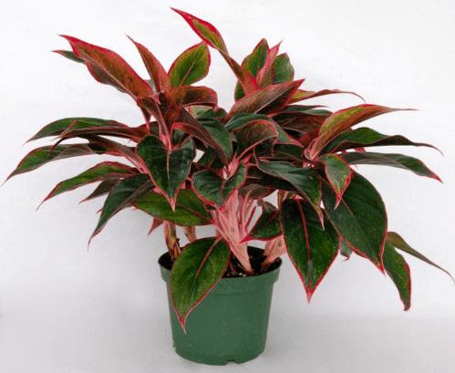 gambar tanaman hias
