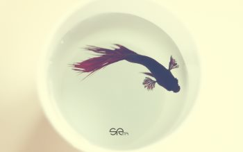Wallpaper: Betta Fish