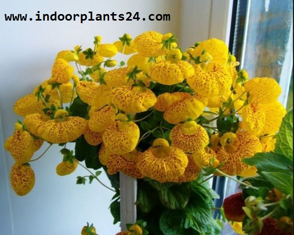 Calceolaria x Herbeohybrida indoor house plant image