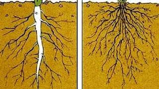 Fungsi dan Struktur Akar, Batang, Daun, Bunga dan Biji pada Tumbuhan Dikotil dan Monokotil