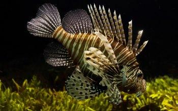 Wallpaper: Lionfish. Firefish. Turkeyfish. Butterfly-cod