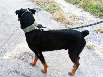 american rottweiler dog photo