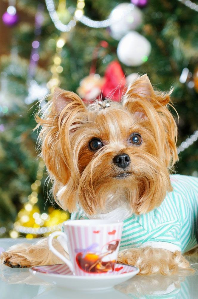 Cute Amazing Yorkshire Terrier Puppy