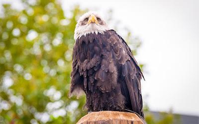Greifvogel aufgenommen auf der photokina by Fotograf Michael Schalansky