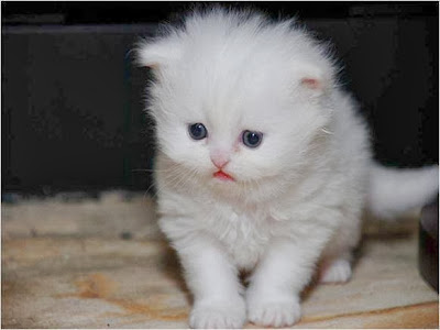 cat-white-color