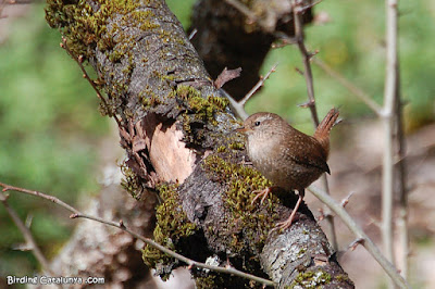 Chochín común en un pequeño tronco