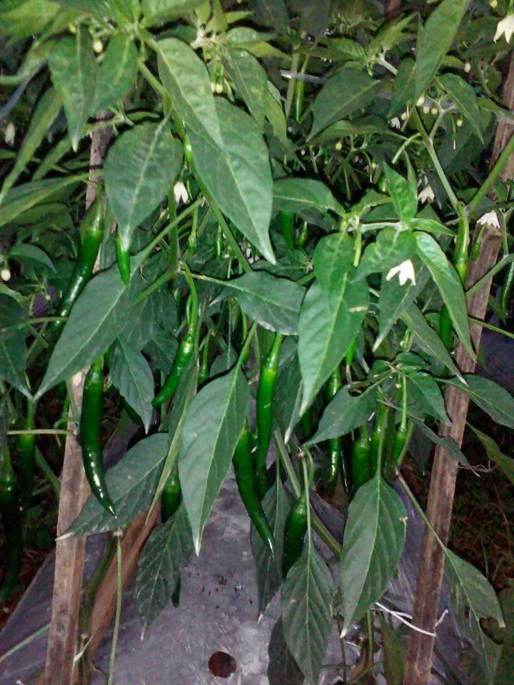 Jarak Tanam Cabai yang Ideal adalah 50 cm x 50 cm (12.000 tanaman/ha)
