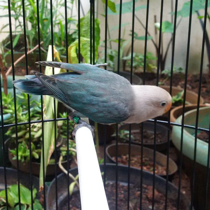Image Result For Cara Merawat Love Bird Cabut Bulu